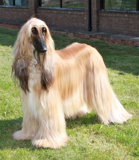 Afghan Hound by Index Of Gallery Afghan Hound