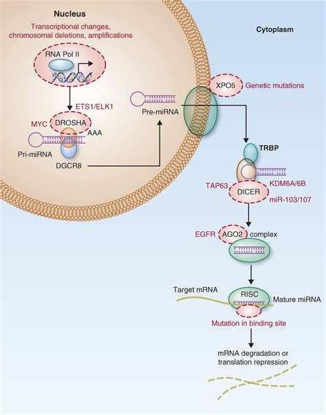 A N Mirna mirna deregulation in cancer cells and the tumor