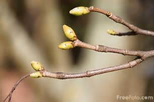 tree buds in the spring pictures free use image 9910 03