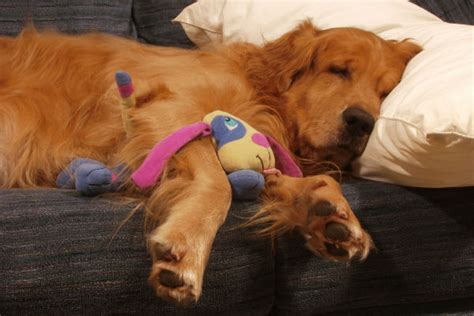 dogs and melatonin melatonin for dogs uses benefits and dosage american kennel club