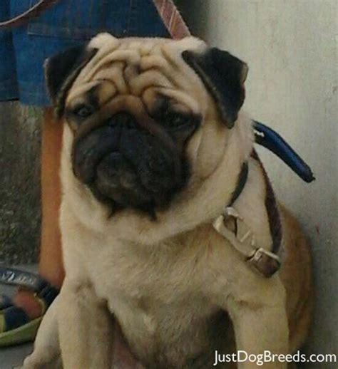 original pug breed pug breeders photograph prince pug breeds