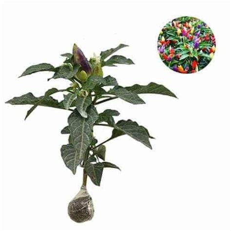 Benih Cabe Hias Pelangi jual tanaman cabe pelangi sudah berbuah bibit