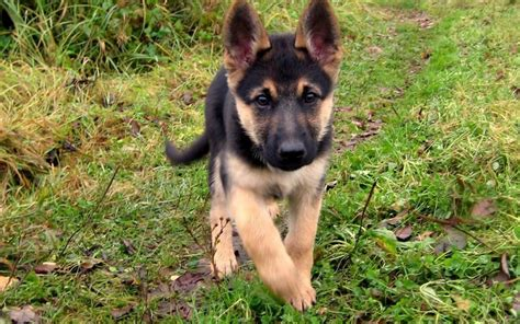 newborn german shepherd puppies baby german shepherd www pixshark images galleries with a bite