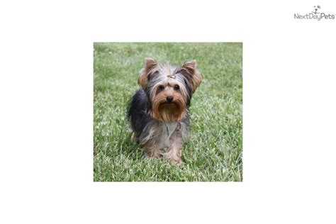 yorkies cheap meet toby a terrier yorkie puppy for sale for 350 cheap t cup yorkie