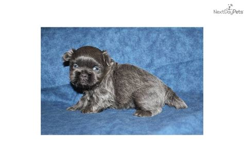 shih tzu puppies dallas blue shih tzu puppy baker blue shihtzu shih tzu puppy for sale near