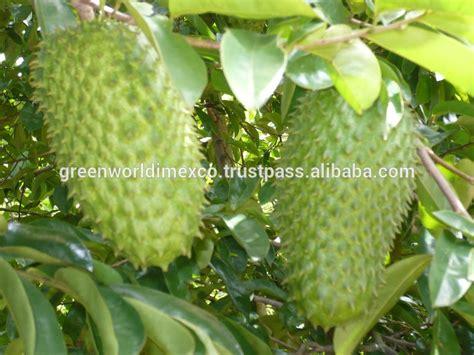 graviola tree fruit where to buy fresh soursop best price buy soursop fruit graviola