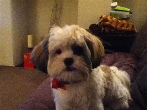 shih tzu family beautiful 7 month family friendly shih tzu for sal leeds west pets4homes