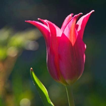 search results  gambar bunga tulip merah  putih