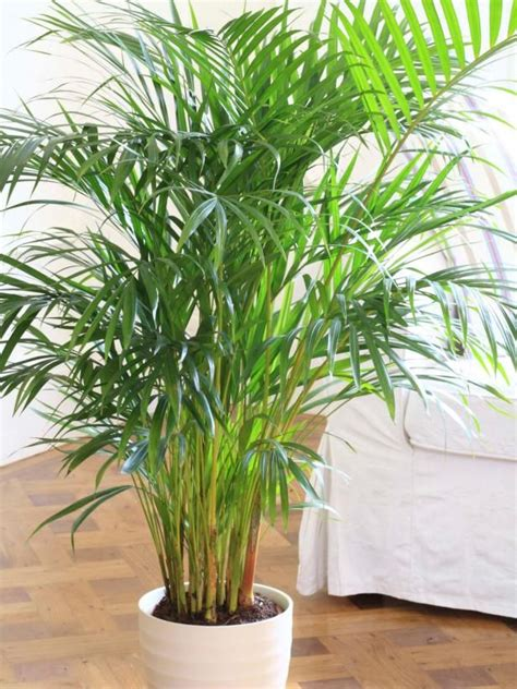 23 low light houseplants that are easy to maintain and best 20 bamboo palm ideas on pinterest best whole house