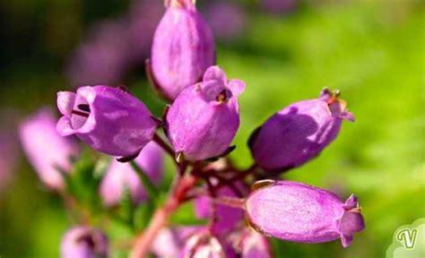 fiori di bach x ansia fiori di bach il fiore per chi ha bisogno di