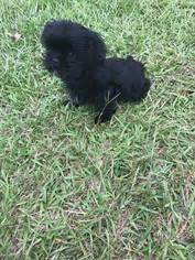 shih tzu for sale in sc view ad shih tzu puppy for sale south carolina kingstree usa