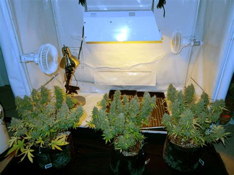 harvest faster grow weed easy