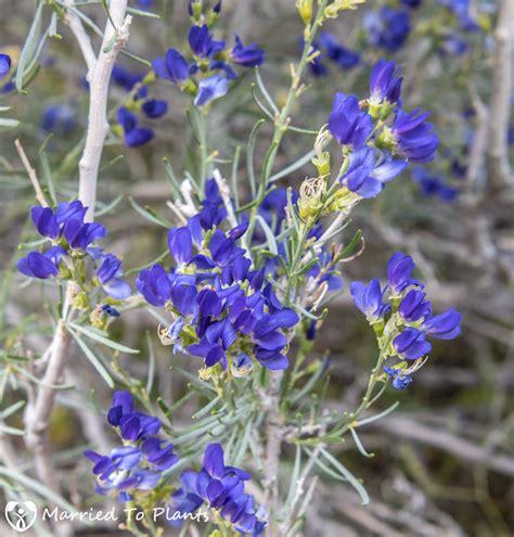 anza borrego flowers 100 100 desert flowers anza borrego anza borrego desert