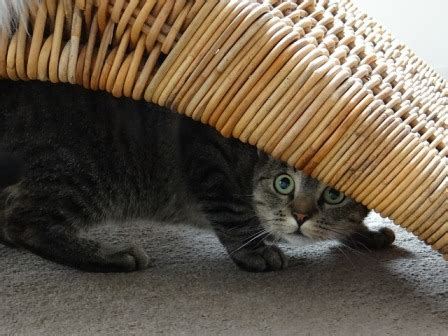 cat hiding under bed why do cats hide under the bed cat diabetes cat care