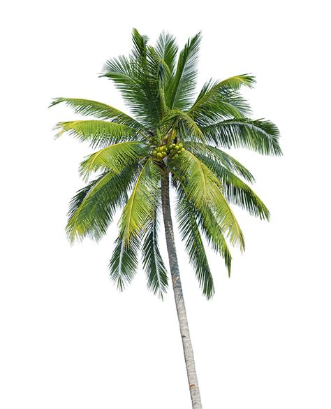 Coconut Tree buy coconut palm trees in miami ft lauderdale kendall