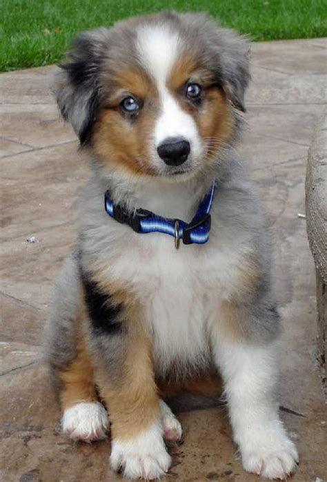 teacup australian shepherd puppies for sale the world s catalog of ideas