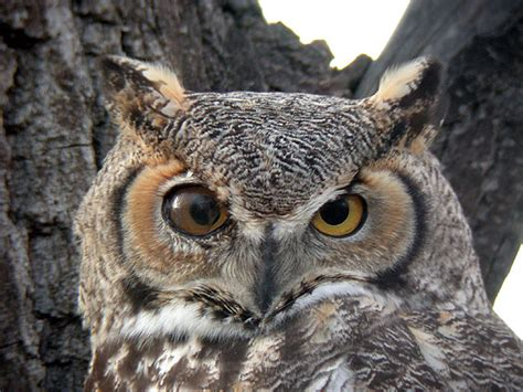 great horned owl boulder colorado pinterest great