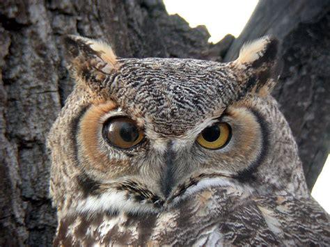 great horned owl photos 169 bill schmoker