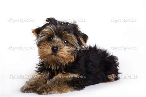 yorkie puppy pictures terrier brown and white breeds picture