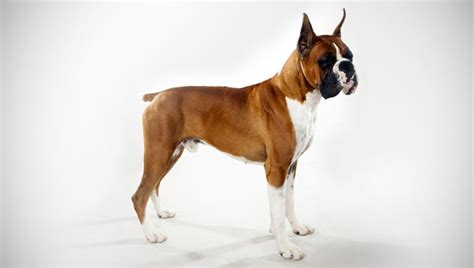 types of boxer dogs boxer breed selector animal planet