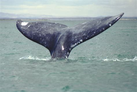 the world s whales need your help