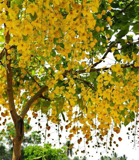 the most beautiful flowering trees in your garden gardening forums