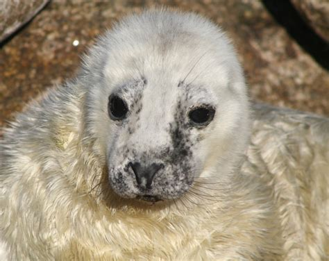pup seal give pups space cornwall seal
