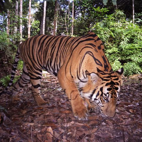 Harimaun Sumatera sumatra harimau tiger compass coffee roasting