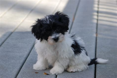 havanese puppies temperament read this before getting one of those adorable havanese puppies urdogs