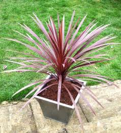 Topiary Trees - cordyline australis cabbage palm red star top topiary palm trees top topiary