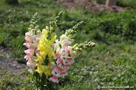 snapdragon plant picture flower pictures 6111