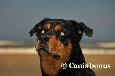 rottweiler with blue rottweiler mix with blue flickr photo