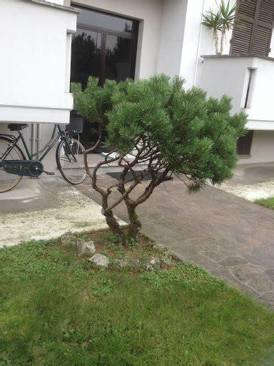 pino nano da giardino pino mugo da potare un quadrato di giardino