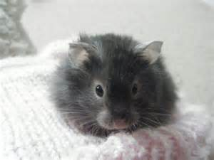 Smoke pearl dwarf winter white russian grey and white syrian hamster