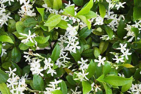 fragrant flowering plants fragrant flowers