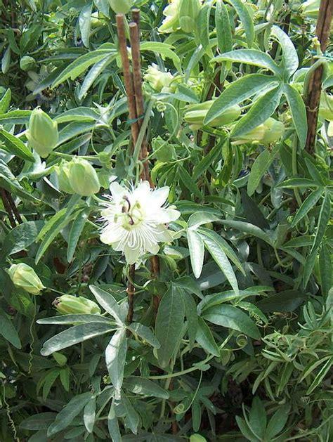 passiflora coltivazione in vaso piante da vaso passiflora passiflora alata passiflora x