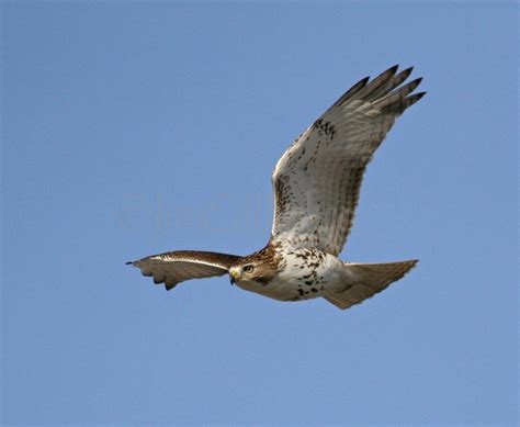 red tailed hawk soaring in the sky at lakeshore state park