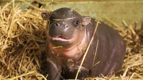 baby pygmy hippo adorable baby pygmy hippo born
