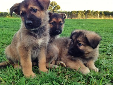 german shepherd puppies for sale in german shepherd puppies for sale brandon suffolk pets4homes