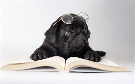 pugs glasses black pug with glasses wallpaper animal wallpapers 50637