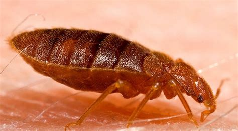 bed bug habitat 20 fun things you can do with family on thanksgiving