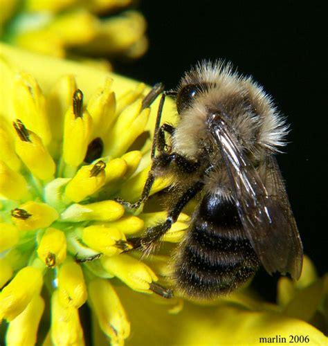 boom on bumble bumblebee species decline 96 percent crisisboom