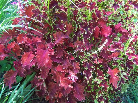 coleus plants simply cannot be beat for a splash of color all summer