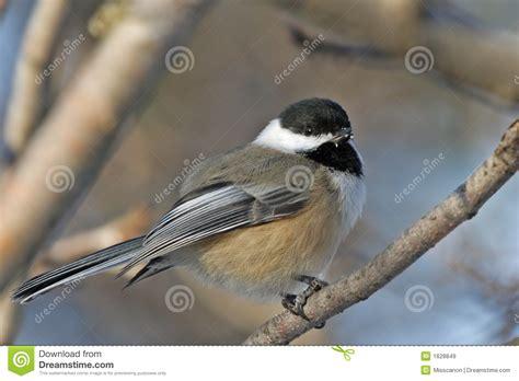 chickadee bird royalty free stock images image 1628849