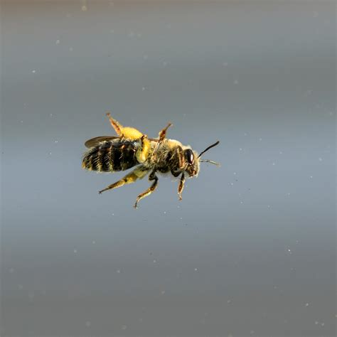 bee belly