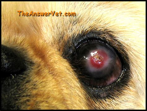 ulcers in dogs eye ulcer www pixshark images galleries with a bite