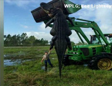 15 foot gator killed in hunt at florida farm wric