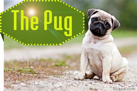 when do pug puppies tails curl 13 adorably breeds that curly tails