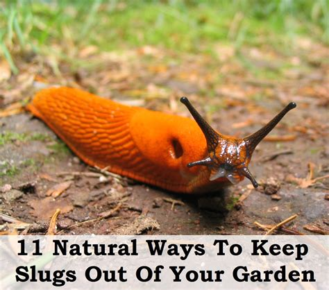 11 natural ways to keep slugs out of your garden flowers uae