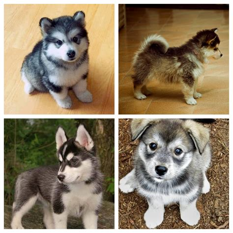 husky pomeranian mix pomeranian husky mix puppy of my dreams to be and